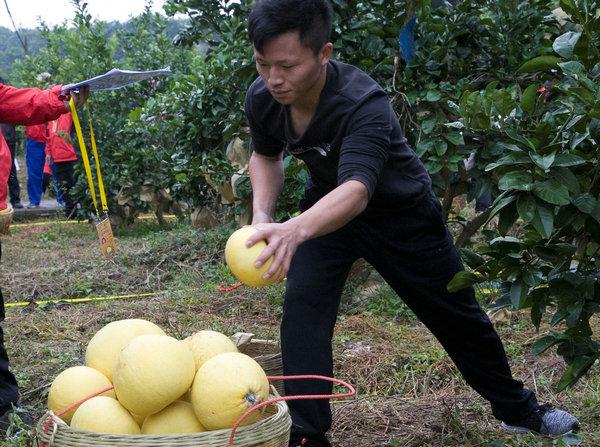全国首届农民水果采收邀请赛在重庆梁平举行