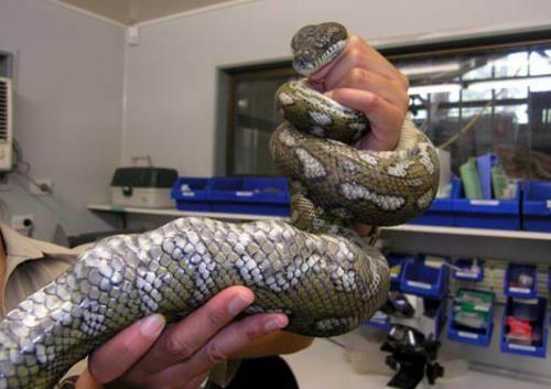 """""""   野生动物保护区给这条蟒蛇取了个好听的名字:奥古斯塔斯,估计这个"""